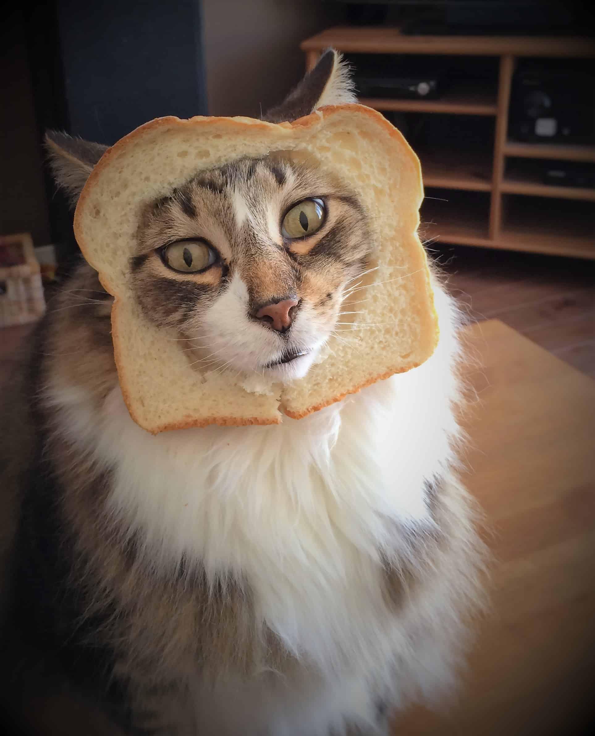 Un chat qui porte une tranche de pain trouée autour du visage pour faire une comparaison avec les intestins perméables.