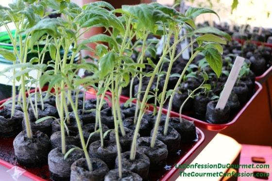 Tomates 560_373