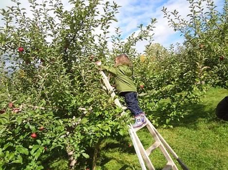 Un enfant dans une échelle qui cueuille une pomme dans le verger de pommes.