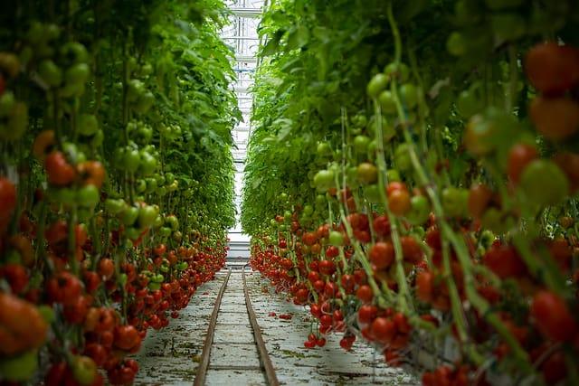 Tomates en grappes hydroponiques