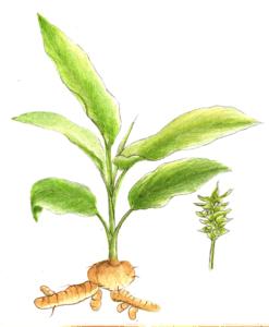 Les bienfaits du curcuma avec photo de la plante démontrant ses racines et rhizomes.