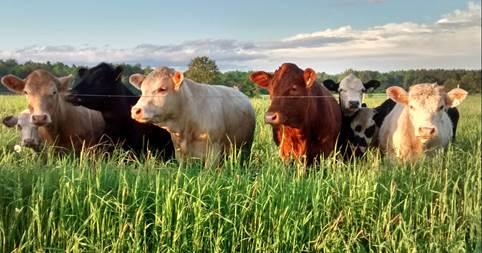 des vaches derrière une clôture en pâturage