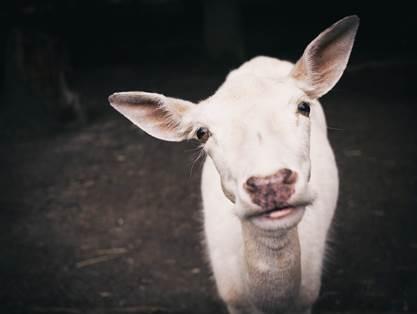 Chèvre blanche, vue de face, sur fond noir, vraiment mignonne.