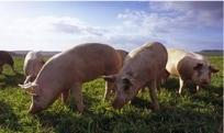 Photo de porcs en pâturage