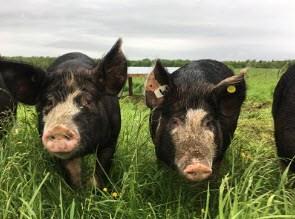 Porcs dans le pâturage qui regardent la caméra