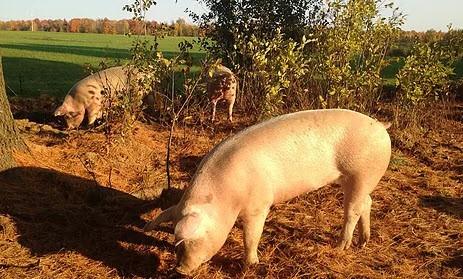 Porcs dans le paysage