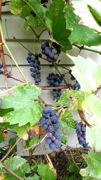 Vigne de raisins bleus concord dans le potager de Johanne de la Confession du Gourmet