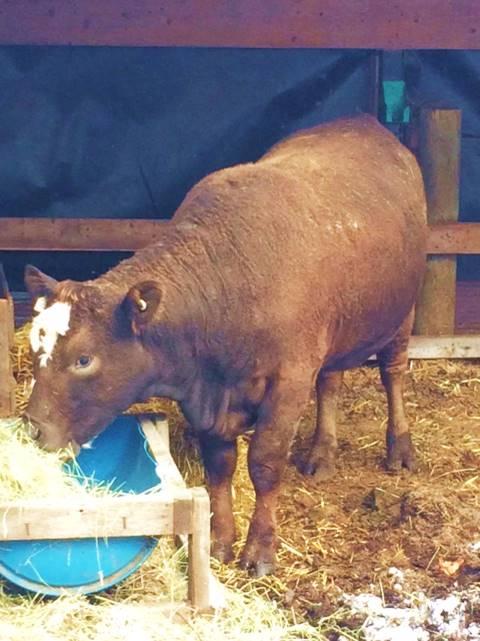 Ti-brun qui mange du foin dans son étable