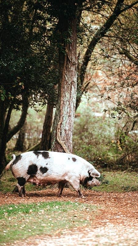 Porc rose et noir trottinant dans le sous-bois